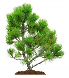 Pine flooring is manufactured from pine trees.