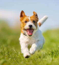 Jack Russell Terriers have a similar mentality to Pembroke Welsh Corgis.