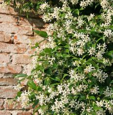 Some flowering vines are able to grow directly up walls without the support of a trellis.
