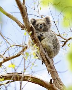 Many unique animals, such as the Australian koala, inhabit the geographically isolated lands of Oceania.