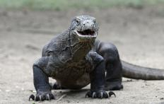Though they primarily survive on carrion, Komodo dragons can use their powerful jaws to take down large prey.