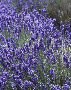 Close-up of L. angustifolia, English lavender.