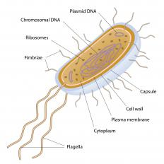 A bacterium can produce bacterial protein as part of its life cycle.