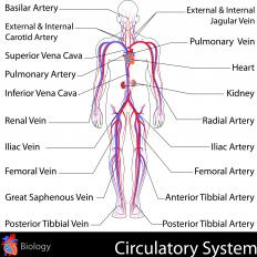 Arteries and veins are key components of the circulatory system.