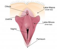 The urethra is shorter in females than males, as it stops just above the opening to the vagina.