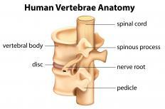 All human veterbrae have pedicles.
