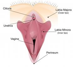 A type of benign growth called hidradenoma papilliferum occurs on the labia majora of the vulva.
