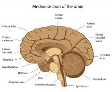 The central sulcus of the brain is between the parietal and frontal lobes.