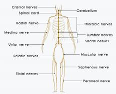 The radial nerve is found in the human arm.
