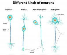 Neurons send information along axons in the form of electrical impulses.