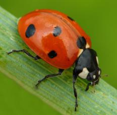 Ladybugs eat red spider mites.