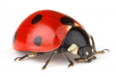 Ladybugs can be used to control mites.