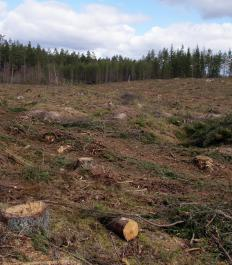Clearcutting is the removal of all large trees from a specific region.