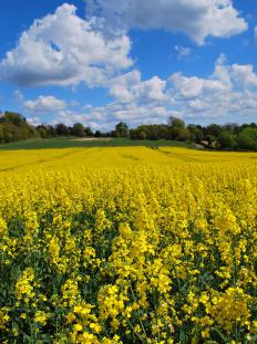 A large field of rapeseed, which is used to make biofuel.