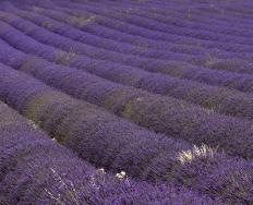 Field of Lavandula x intermedia, lavandin.