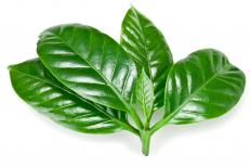Plant leaves are evolutionarily designed to catch sunlight, which is then used in photosynthesis.