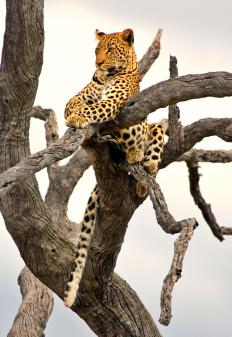 All leopards are classified under the species Panthera pardus, however these arboreal predators can be divided into several subspecies.
