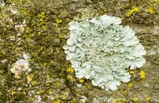Lichen was among the life to grow on land.