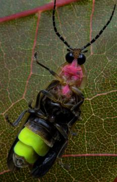 Despite their name, lightning bugs do not possess electroception.