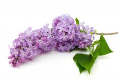 Lilac blooms in several different zones.