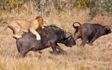 The African lion feeds on buffalo and other game.