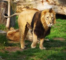 The lion is the second-largest big cat.