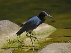 The little blue heron, egret caerulea, is a small, intensely blue wading bird that can be found in the south-eastern United States, as well as Central and South America.