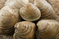 Littleneck clams, which can be used to make clam cakes.