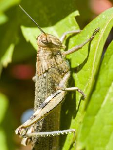 Locusts are grasshoppers that belong in the family Acrididae.