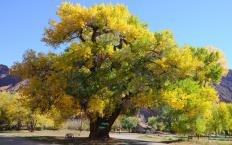 Cottonwood trees belong to the genus Populus.