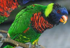 Lories are similar to lorikeets.