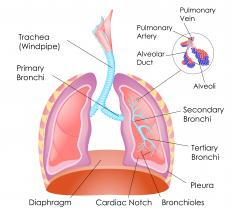 The diaphragm sits just under the lungs.