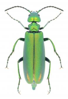The beetle known as the Spanish fly is a type of blister beetle.