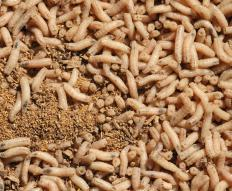 Maggots may be used during biological debridement.