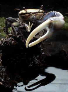 When evading prey, crabs run sideways.