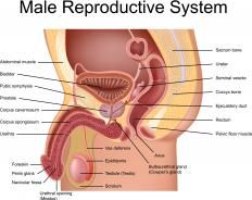 In men, the perineum extends from the anus to right below the testicles.