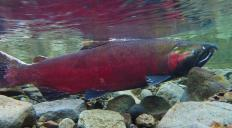 The Cooper River in Wrangell St. Elias National Park and Preserve contains sockeye salmon.