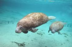 Unlike the manatee, which can live in freshwater, the dugong spends life at sea.