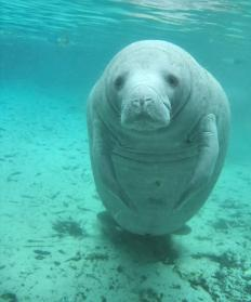 Manatees have become endangered because they are often killed in boating accidents.
