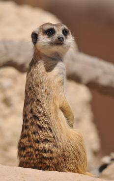 Meerkats are members of the mongoose family.