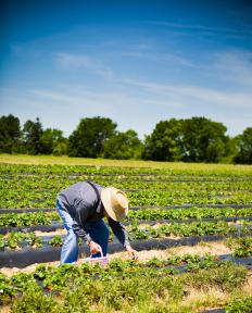 A man picks strawberries on a family farm.