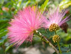 The mimosa pudica is used as alternative medicine to a variety of conditions.