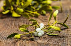 Mistletoe drains energy from its host.
