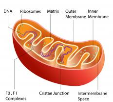 Mitochondria provide energy for cells.