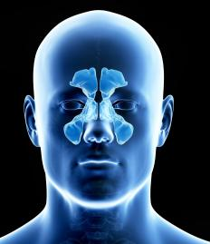 The maxillary sinuses are located under each eye, on either side of the nose.