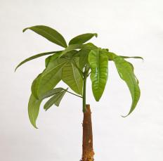A Pachira aquatica, or money tree plant.