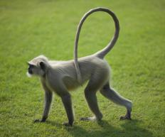 Chamelios' tails are similar to monkeys'  in that they are prehensile and help with climbing.