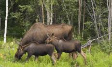 Moose can be found in heavily forested areas.