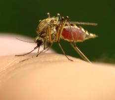 Maclura extract is being experimented with as a possible mosquito repellent.