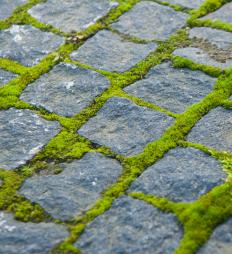 Moss growing between cobblestone pavers in a backyard.